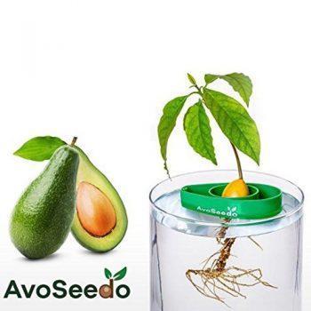 Züchte eigene Avocados!